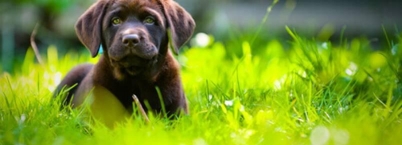 Descubra porque os cães comem grama