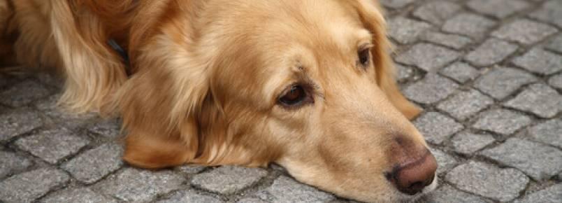 Depressão nos cães: saiba o que pode acontecer