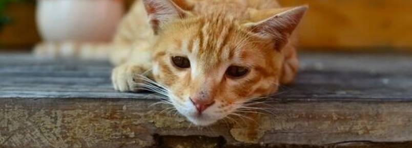 Giardia em gatos: sintomas e como é transmitida